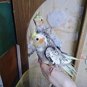попугаи кореллы ручные