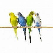 Волнистые попугайчики и голуби домашн. разведения