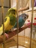 Папугаи с клеткой