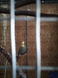волнистый попугай и клетки.
