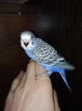 Птенцы Волнистого попуга