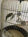 Волнистые попугайчики с клеткой!!!