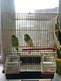 Волнистые 2 попугая