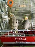 Попугаи(Корелла)