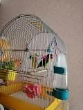 Попугай неразлучник