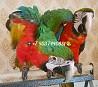 Ара арлекин - ручные птенцы из европейского питомника