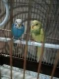 Волнистые попугаи. Пара