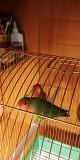 Продам попугайчиков - Неразлучников.