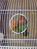 Пара попугаев неразлучников.