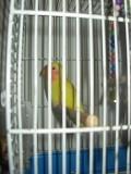 попугаюшка 3 месяца неразлучник с клеткой