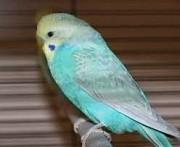 Волнистые попугайчики разных окрасов