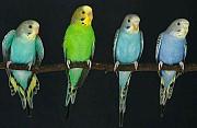Молодые волнистые попугаи