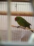 Волнистый попугай и какарик, самцы