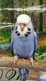 Выставочный волнистый попугай (ВВП Чех)