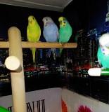 Волнистые попугаи и Чехи