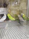 Волнистый попугай птенчики