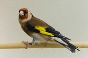 Певчие птицы-Щеглы