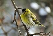 Птицы певчие