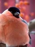 Щеглы и другие певчие птицы