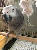 Продаю попугая Жако