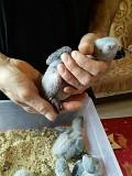 Птенцы Жако выкормыши.