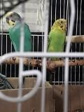 Птинцы волнистый попугай