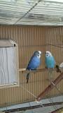 Два взрослых волнистых попугаев 700руб