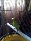 Попугай волнистый 1,5 года