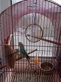 Волнистый попугай девочка вместе с клеткой и кормо