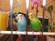 попугаи пара