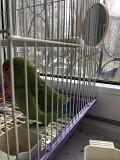 Неразлучник попугай