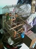 Попугаи с клеткой , неразлучники