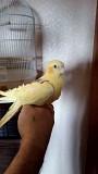 Попугаи корелла ( супер ручные )