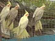 Попугаи корелла птенцы с клеткой
