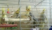 Птенец попугая кореллы
