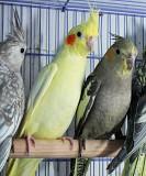Птенцы попугая Кореллы для Вас.Большой выбор