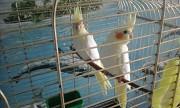 птенцы попугаякореллы