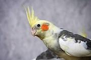 попугай корелла ручной мальчик 3 месяца