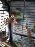 Попугай Розелла самка
