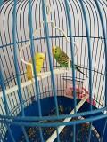 Волнистый попугай(девочка няша)