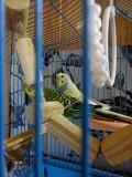 Волнистые попугаи,самец и самка