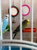 продаю парочку волнистых попугаев