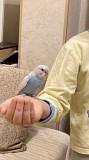 Волнистый попугай ручной