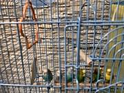 Продам волнистых попугаев срочно и клетку