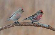 Певчие дикие птицы