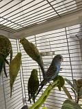 Продаю волнистых попугайчиков. (Не заводчик)