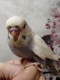 Птенчик ручной волнистый попугай получех самка