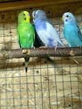 Попугайчики волнистики