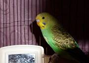 Волнистый попугай девочка с Клеткой и домиком