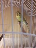 Волнистый попугай самец